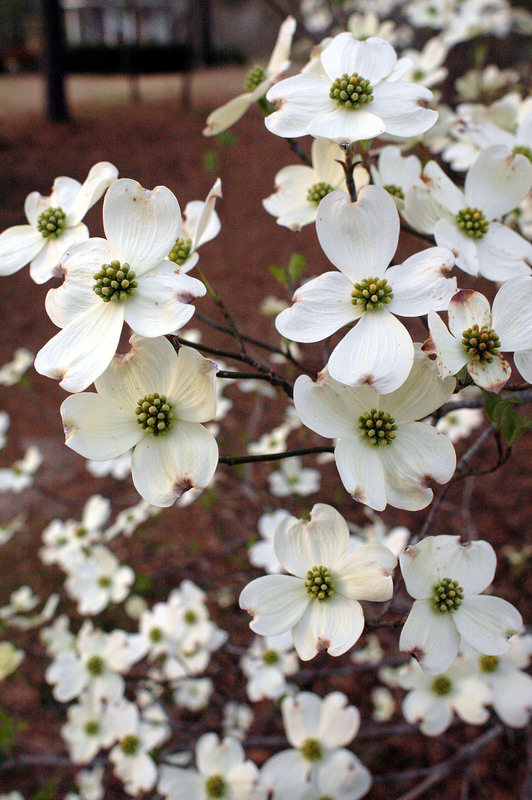 March_dogwoods.jpg